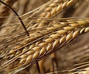 大麦-効果-麦ごはん-押し麦-栄養-効能-画像.jpg
