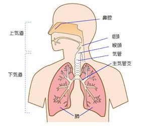 鼻呼吸 効果 メリット 口呼吸 デメリット 鼻づまり 呼吸器画像.jpg